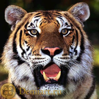 Рисуем голову тигра. Набросок